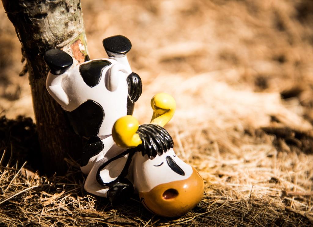 Hector-The Cow, champion de yoga